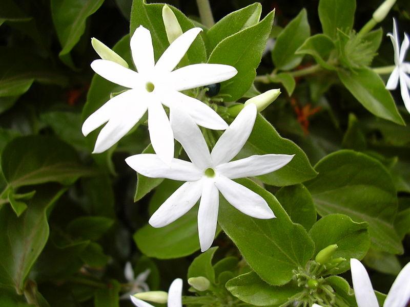 Το Γιασεμί σαμπάκ - Φούλι μονό (Jasminum sambac) είναι ένα είδος γιασεμιού με μεγάλα άσπρα άνθη, αρωματικά νωρίς την Άνοιξη έως τέλος του Φθινοπώρου