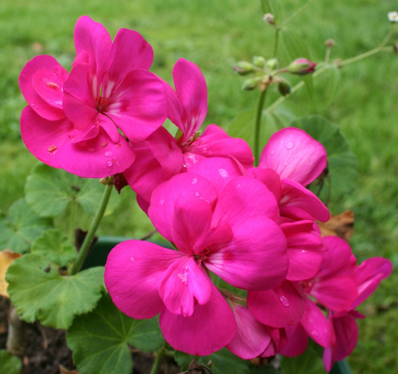 Το Γεράνι (Pelargonium zonale) είναι φυτό πολύκλαδο, αειθαλές, με μορφή ημισφαιρικού θάμνου, ύψους μέχρι μισό μέτρο. Φέρει φύλλα πράσινα, χνουδωτά, σφαιρικά.