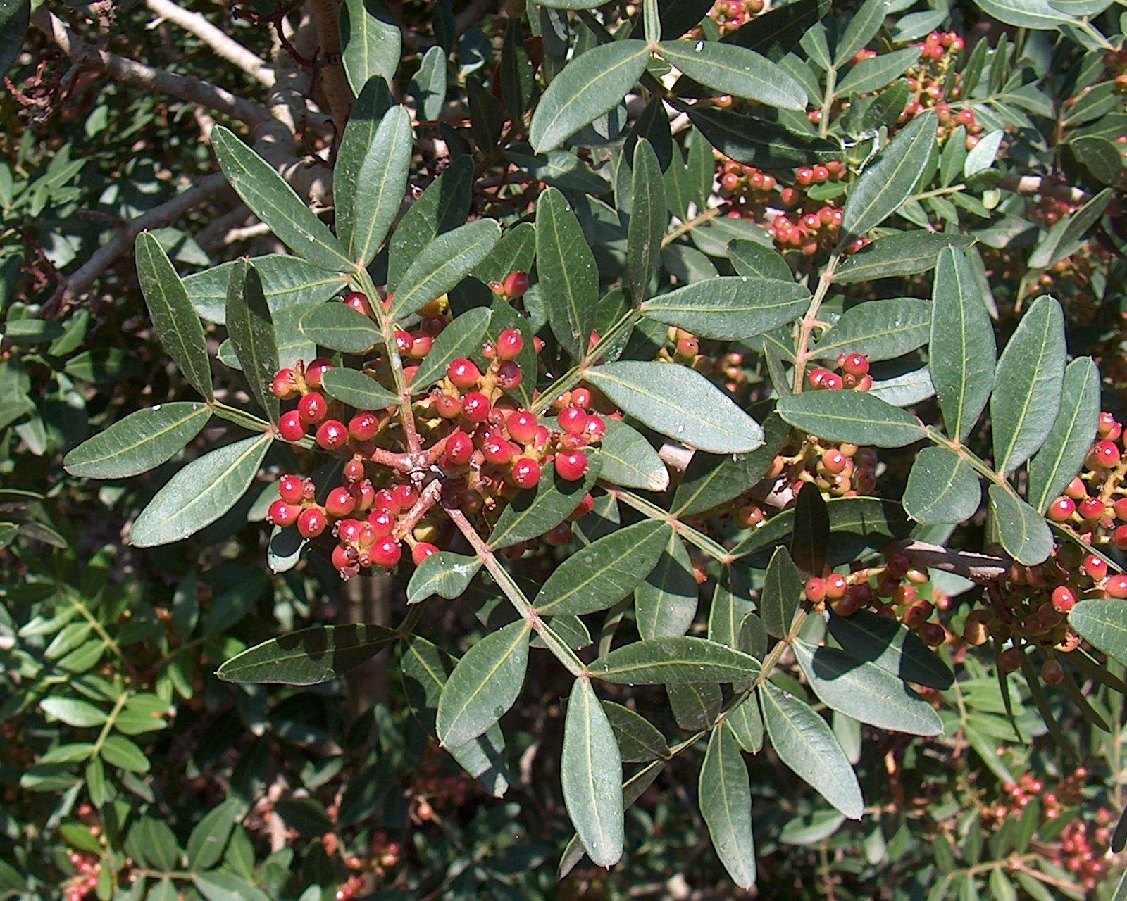 Ο Σχίνος είναι θάμνος αειθαλής, που μπορεί να φτάσει μέχρι τα 5 μέτρα. Ανθίζει την άνοιξη με κόκκινα άνθη και στη συνέχεια παράγει καρπούς μαύρου χρώματος. Είναι φυτό πολύ ανθεκτικό στην ξηρασία, σε ποικιλία εδαφικών τύπων και σε παραθαλάσσιες περιοχές