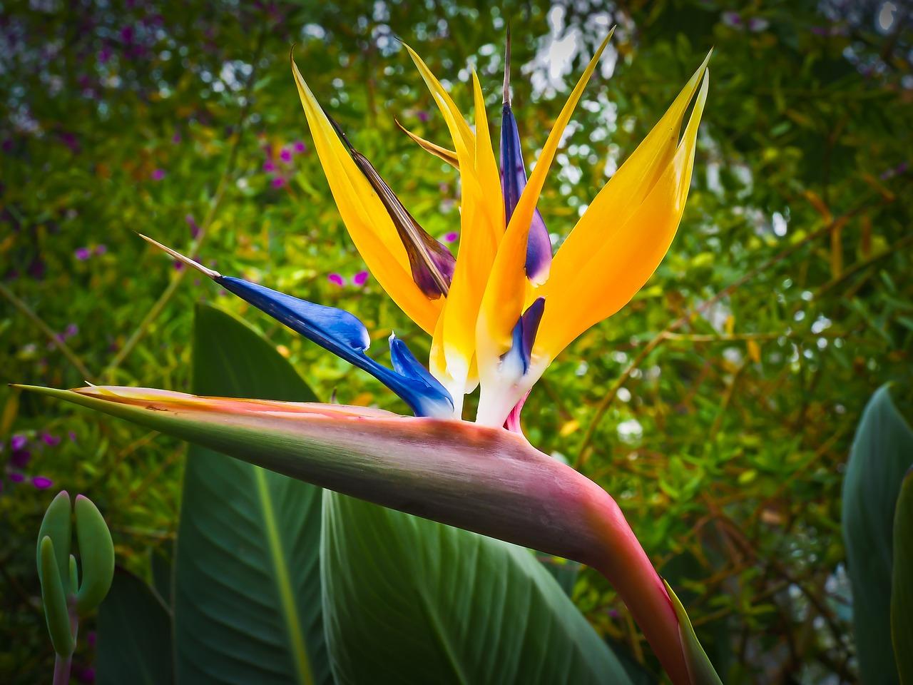 Η Στρελίτσια ή Πουλί του Παραδείσου είναι αειθαλής θάμνος με άνθη πορτοκαλί