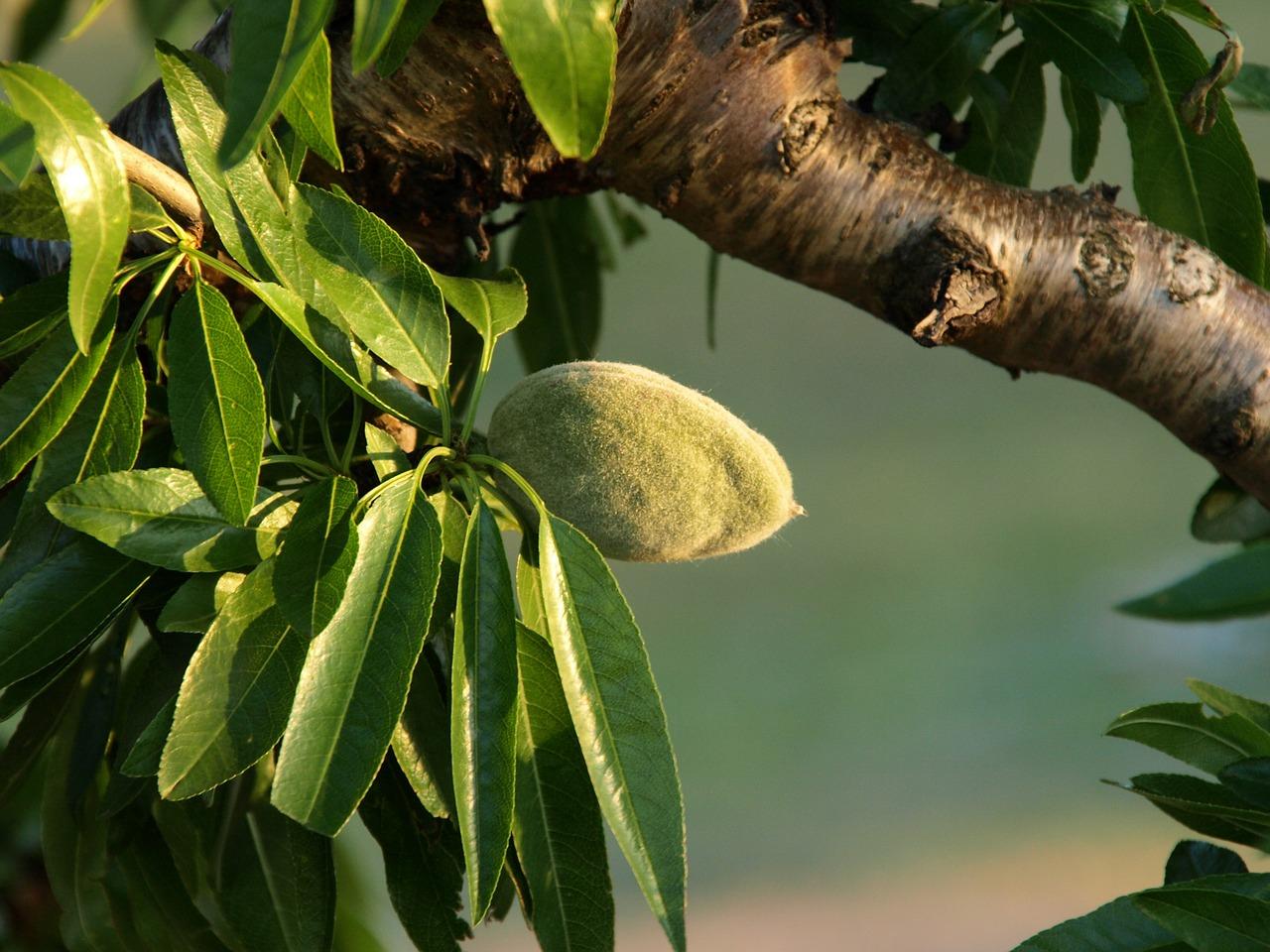Η Αμυγδαλιά ανήκει στην οικογένεια Rosaceae, στο γένος Prunus. Η καλλιεργούμενες ποικιλίες ανήκουν στο είδος communis. Η Αμυγδαλιά είναι ένα από τα αρχαιότερα ακρόδρυα που χρησιμοποιείτο από τον άνθρωπο.