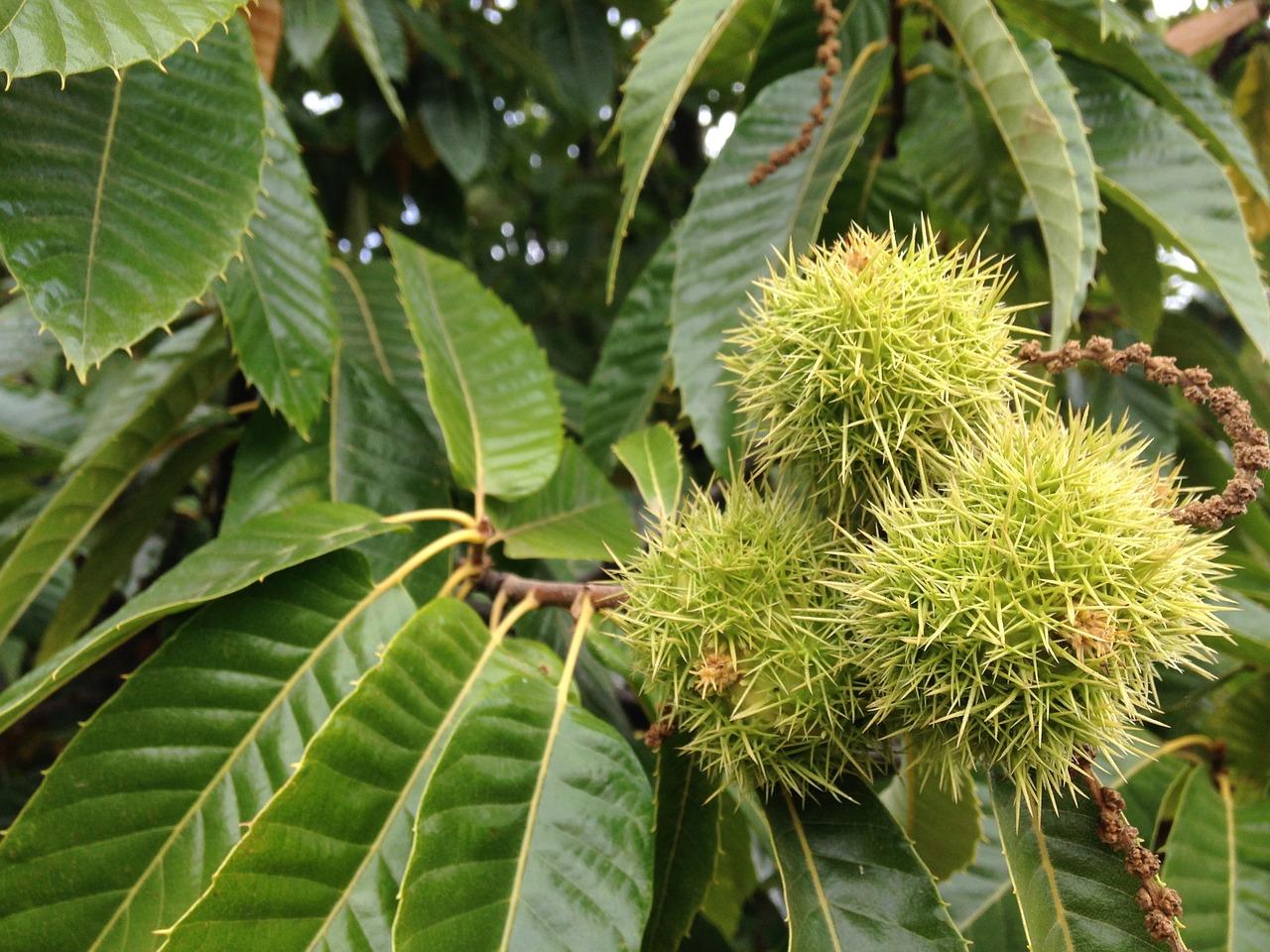 Η Καστανιά ανήκει στην οικογένεια Fagaceae, στο γένος Castanea. Η Ευρωπαϊκή Καστανιά φυλλοβόλο, μακρόβιο με ύψος που μπορεί να φτάσει μέχρι και τα 30 μέτρα