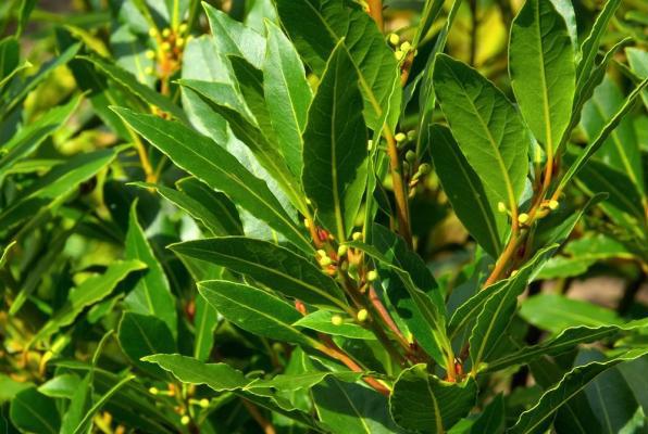 Η Δάφνη του Απόλλωνα ανήκει στην οικογένεια Lauraceae στο είδος Laurus nobilis. Περιέχει ένα πολύπλοκο αιθέριο έλαιο, ρητίνη, μια κολλώδη ουσία και μια πικρή ουσία