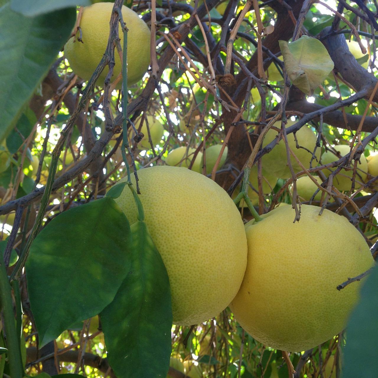 Το Γκρέιπ Φρουτ ανήκει στην οικογένεια των εσπεριδοειδών. Είναι δένδρο με μεγάλη παραγωγική ικανότητα, γρήγορης ανάπτυξης.