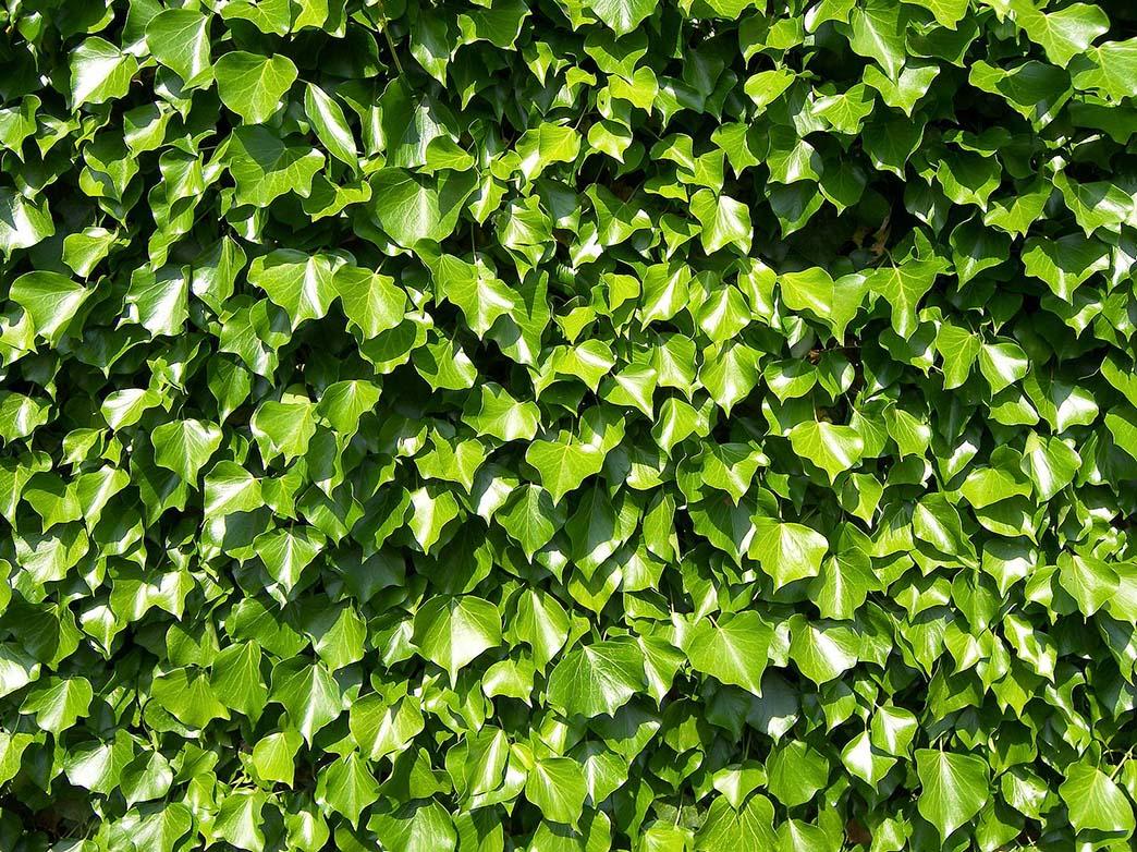 Ο Κισσός είναι φυτό αναρριχώμενο, αειθαλές, ύψους μέχρι και 30 μέτρα. Ανθεκτικό στην ξηρασία και την ατμοσφαιρική ρύπανση. Κατάλληλο για σκαιζόμενες θέσεις φύτευσης ή και παραθαλάσσιες. Απαντώνται διάφορα είδη που διαφέρουν μεταξύ τους ως προς το μέγεθος και το χρώμα των φύλλων τους.