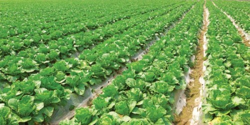 Το λάχανο (επιστ. Κράμβη η λαχανώδης ποικ. η κεφαλωτή, Brassica oleracea var. capitata) είναι φυτό διετές, ποώδες και ανήκει στην οικογένεια των Κραμβοειδών. Στην Κύπρο το λάχανο είναι γνωστό ως κραμπί.