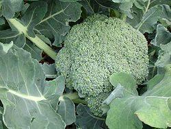 Το Mπρόκολο είναι ετήσιο φυτό της οικογένειας των Κραμβοειδών (Σταυρανθών) του γένους Κράμβη (Brassica)