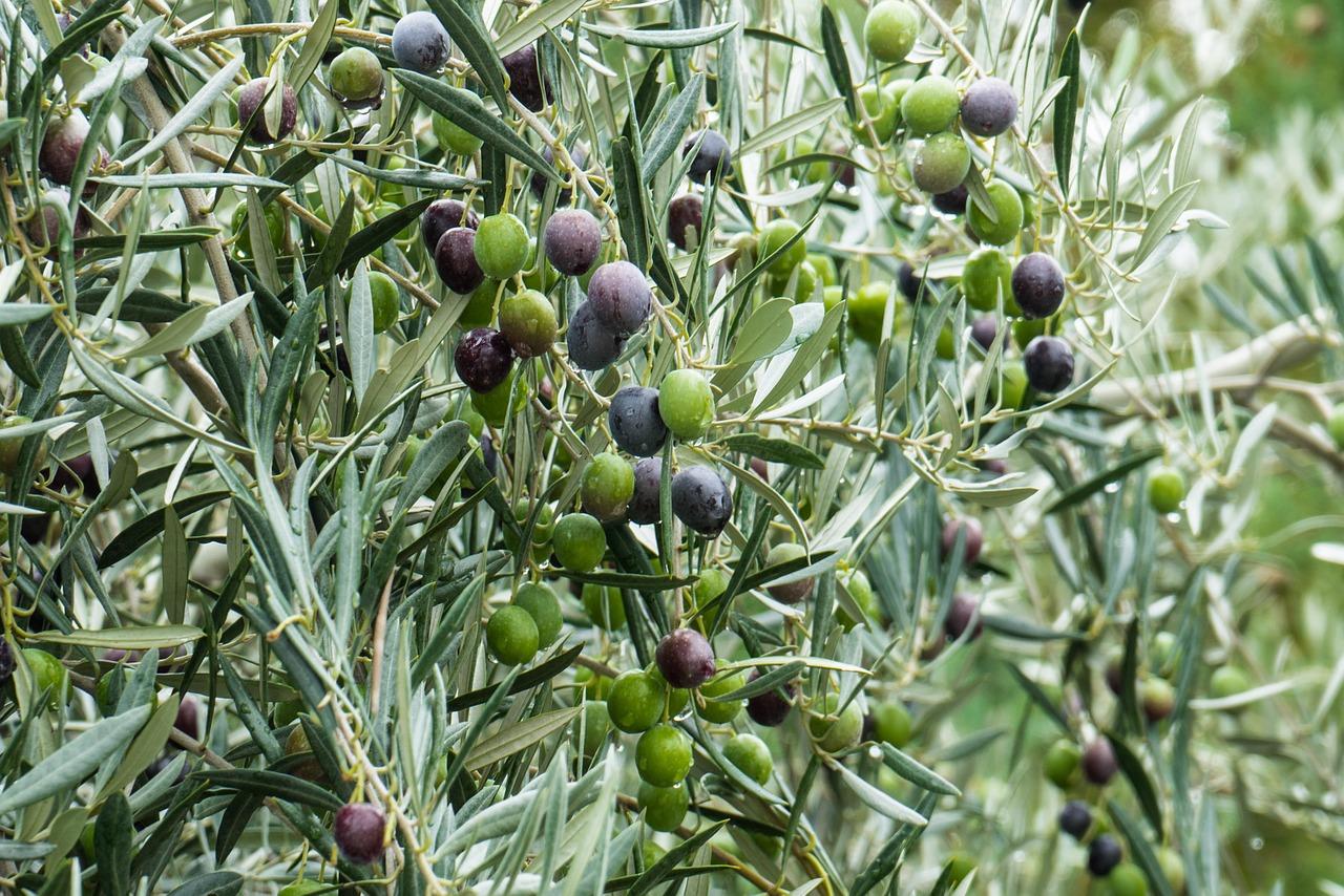 Από το 1970 εφοδιάζουμε με συνέπεια και υπευθυνότητα του παραγωγούς της Κρήτης με τα Φυτώρια Ελιάς μας. Τα φυτώρια προέρχονται από κλωνική επιλογή της εκλεκτής ποικιλίας Κορωνέϊκης.