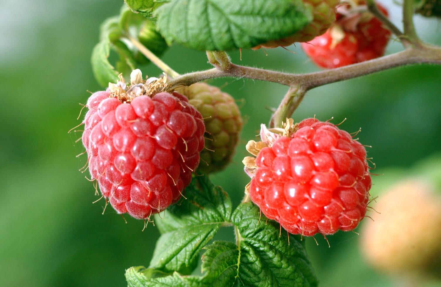Το Σμέουρο, γνωστό και ως Φραμπουάζ (Framboise), έχει επιστημονική ονομασιά Rubus ideaus (βάτος η ιδιαία). Είναι πολυετές φυτό που παράγει μικρού μεγέθους κόκκινους καρπούς. Έχει απλά πτεροειδή ή σύνθετα παλαμόειδή φύλλα και λευκά ή ρόδινα άνθη