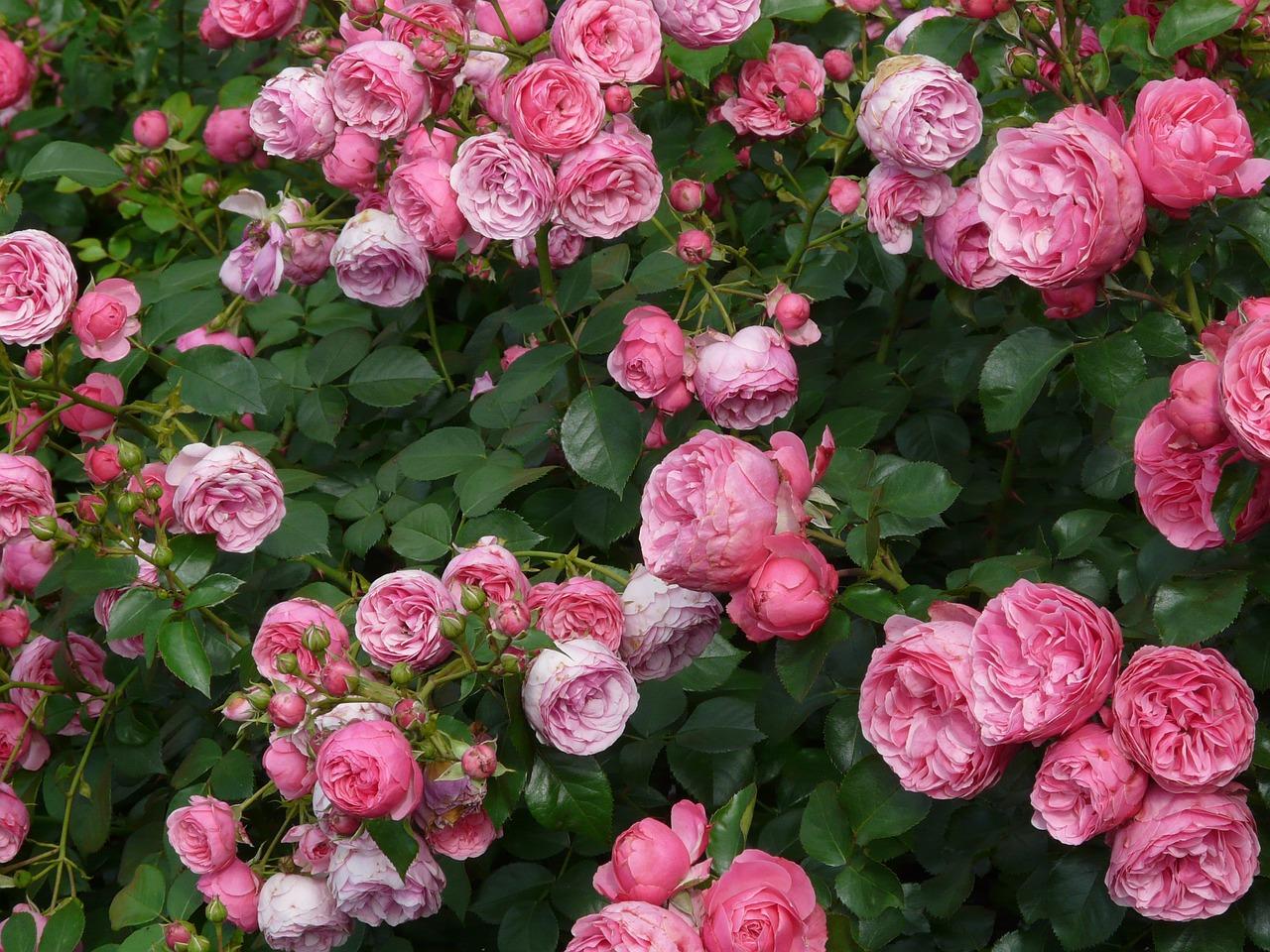 Η τριανταφυλλιά είναι θάμνος ή δενδρύλλιο, φυλλοβόλος, αγκαθωτός, γρήγορης ανάπτυξης
