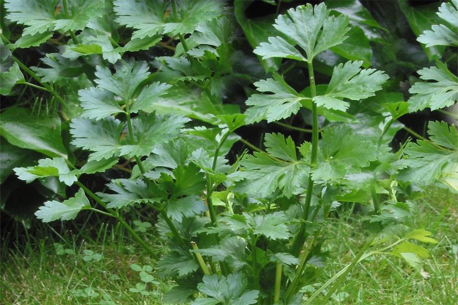 Το σέλινο ανήκει στην οικογένεια Umbelliferae, στο είδος Apium graveolens. Είναι φυτό πλούσιο σε βιταμίνες, μαγνήσιο, θείο. Έχει κυρίως διεγερτικές, διουρητικές και καθαρτικές ιδιότητες.