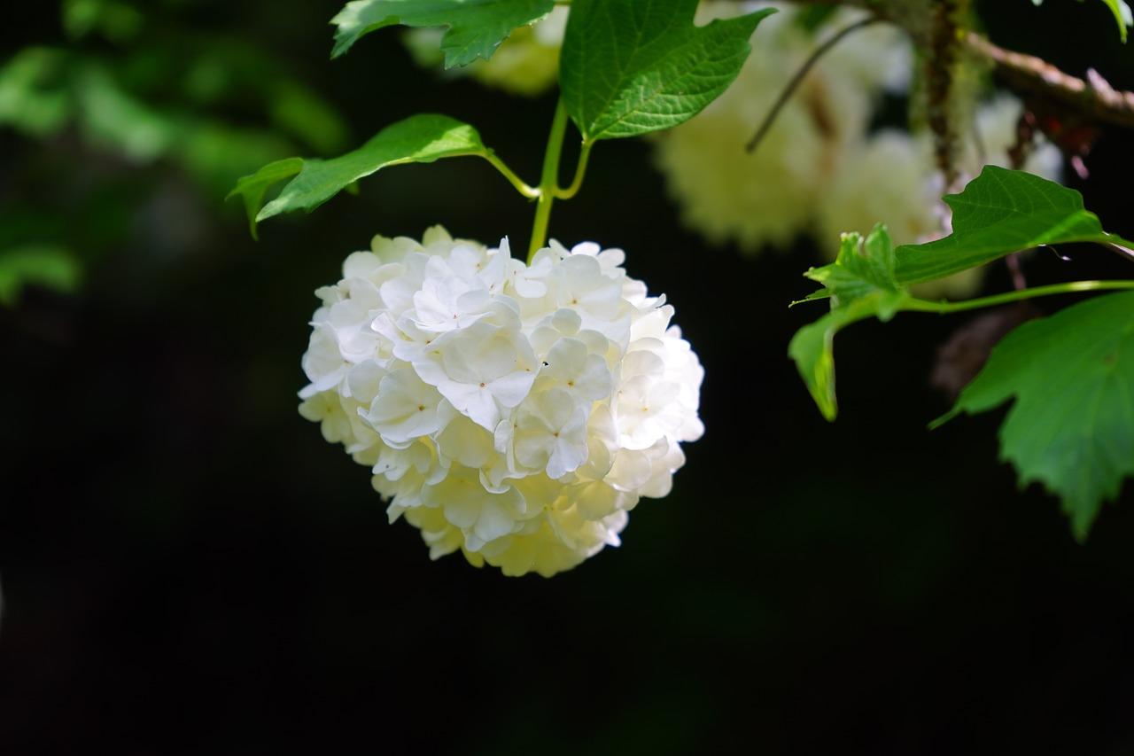 Το Βιβούρνο το χιονόσφαιρο (Viburnum opulus) είναι θάμνος ανθεκτικός
