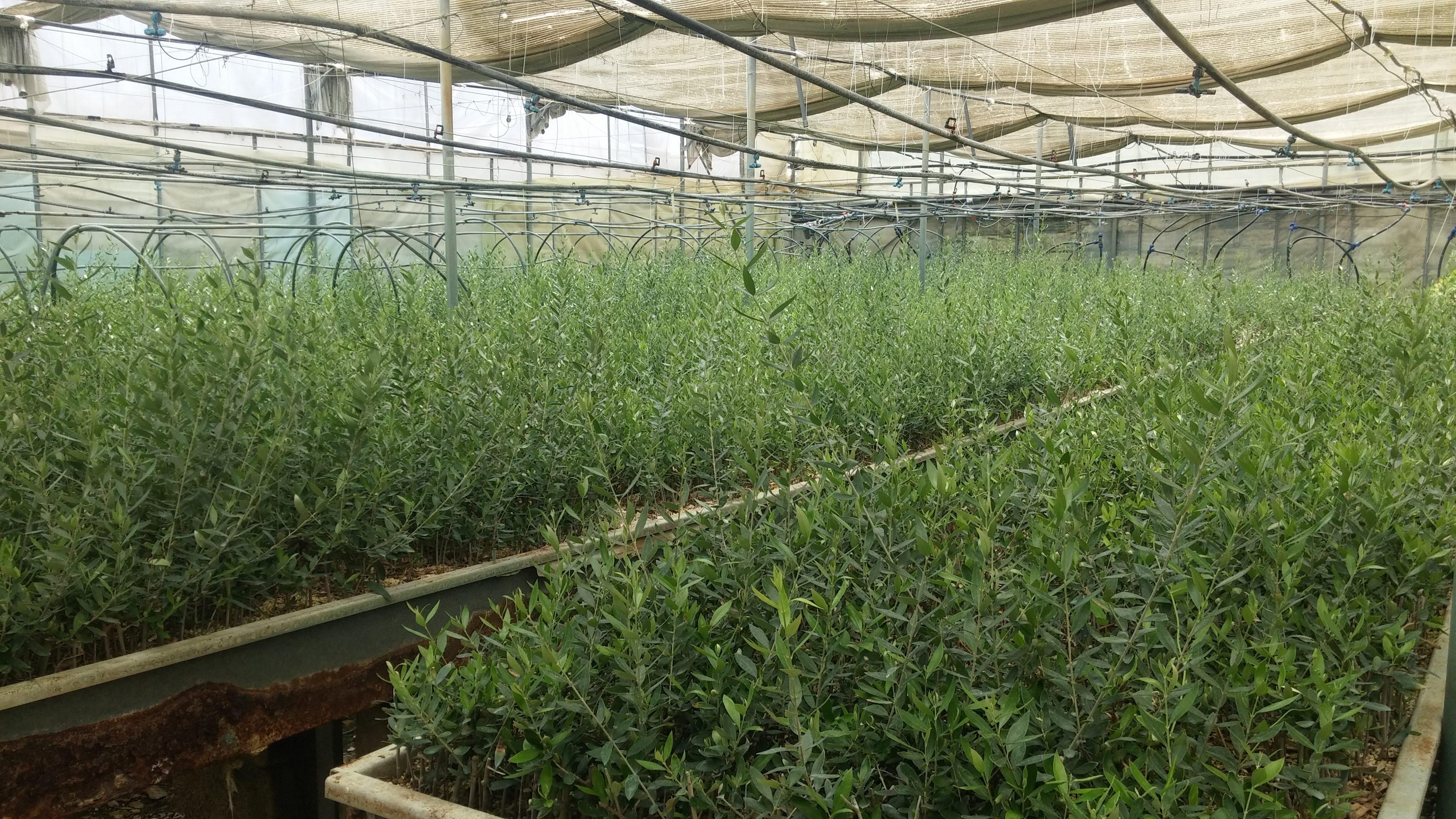 Η ποικιλία ελιάς Κορωνέικη είναι η ντόπια, παραδοσιακή ποικιλία ελιάς που υπάρχει στην Κρήτη