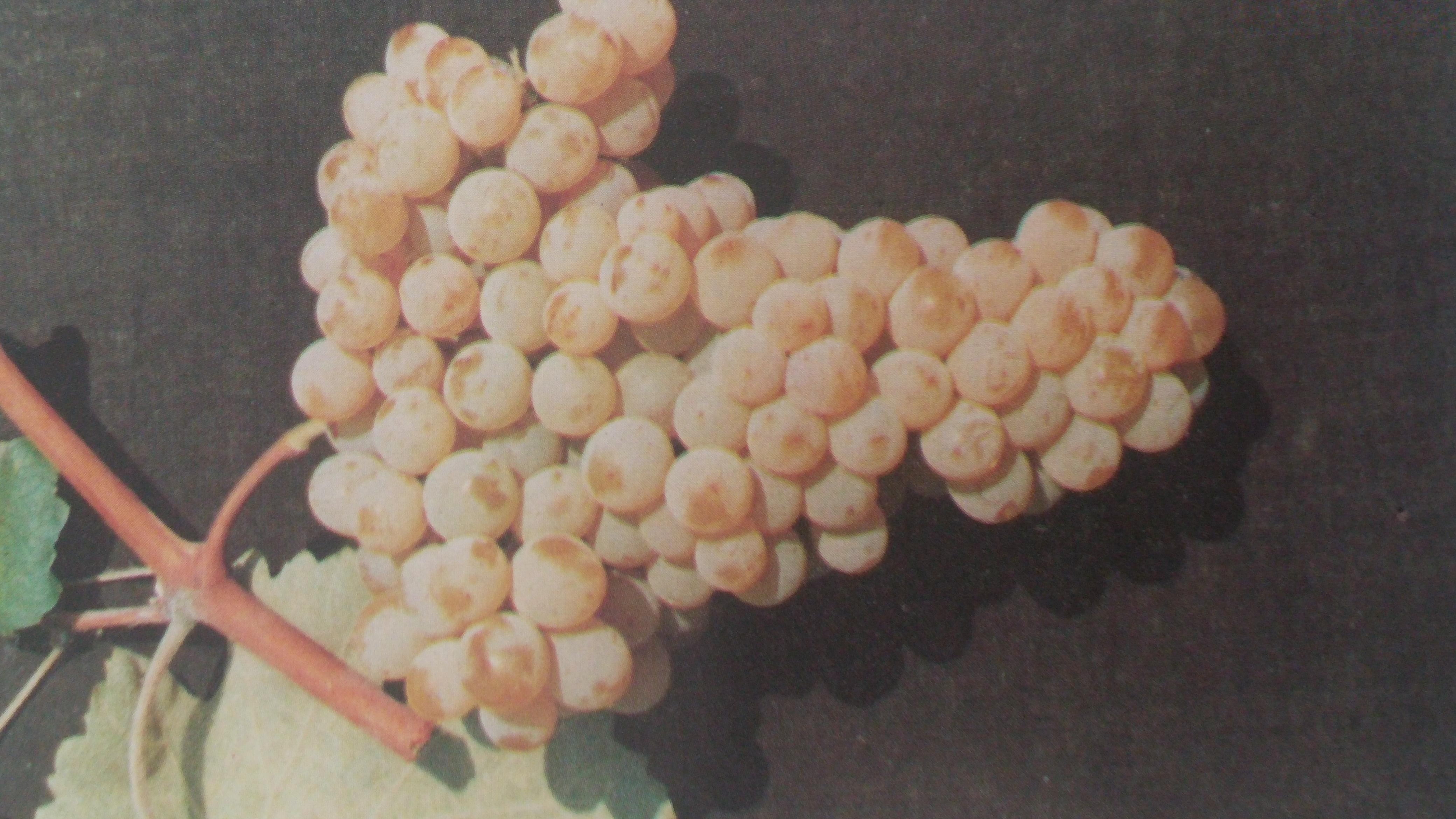 Το Θραψαθηρι είναι μια σημαντική ποικιλία της Κρήτης, η οποία αναδεικνύεται σε μια από τις πλέον υποσχόμενες και συναρπαστικές λευκές ποικιλίες του νησιού.Χάρη στα χαρακτηριστικά γνωρίσματά του προσελκύει την προσοχή πολλών οινοκριτικών, δίνοντας πρώτης τάξεως ξηρά και, σε κάποιες περιπτώσεις, γλυκά, λευκά κρασιά.