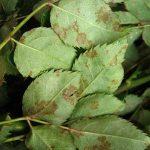 Ο περονόσπορος της τριανταφυλλιάς αποτελεί μια ασθένεια γνωστή στις περισσότερες χώρες του κόσμου. Οφείλεται στο μύκητα Peronospora sparsa και όλες οι ποικιλίες της τριανταφυλλιάς είναι ευπαθείς στην ασθένεια, με διαφορετικό ωστόσο βαθμό ευπάθειας η κάθε μια.