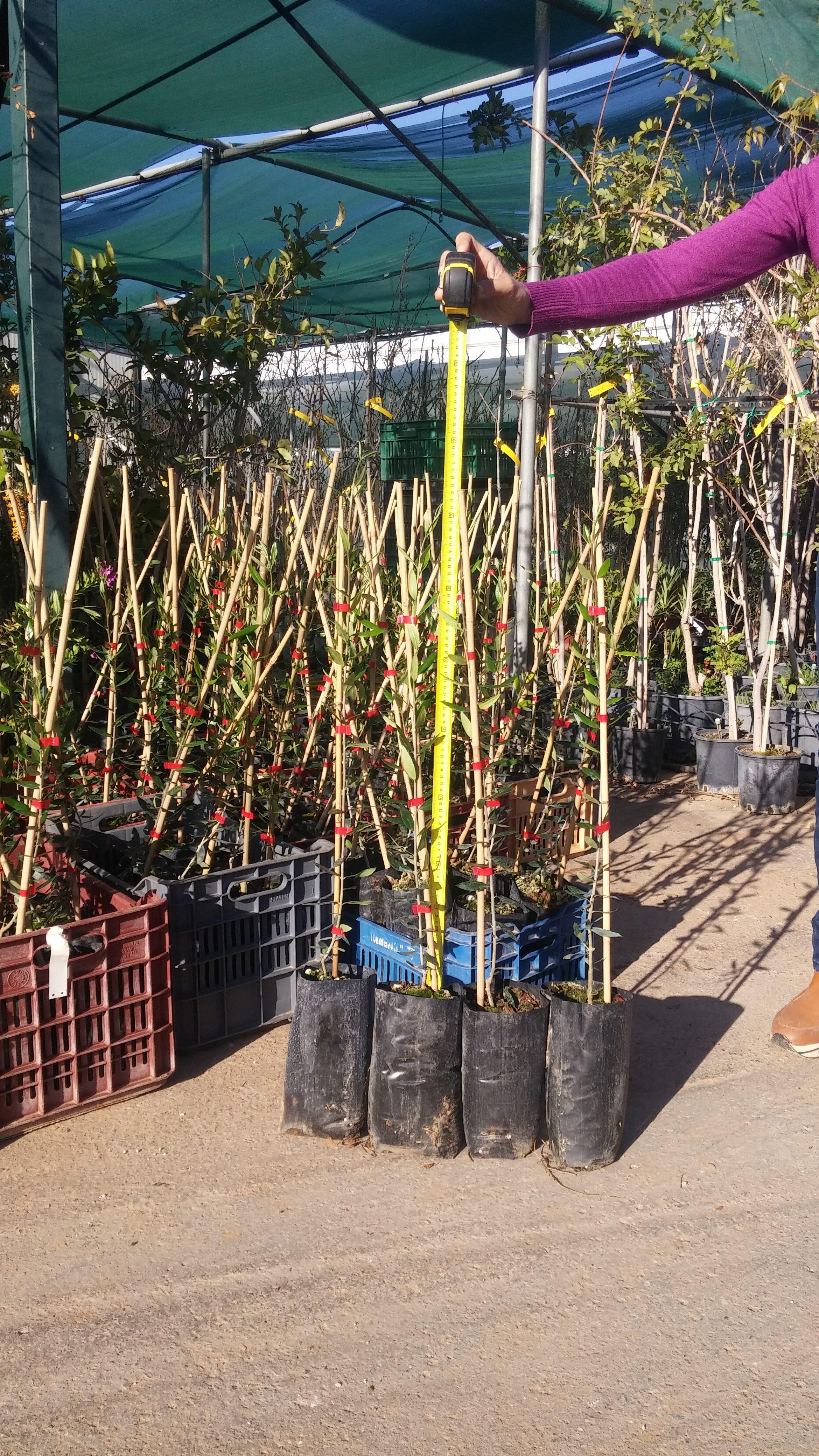 νέα παραγωγή Φυτώρια ελιάς 10/3/2017