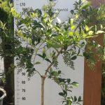 λιγουστρο δένδρο