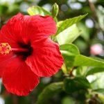 Ο Ιβίσκος ο σινικός (Hibiscus rosa - sinensis) είναι θάμνος αειθαλής, γρήγορης ανάπτυξης