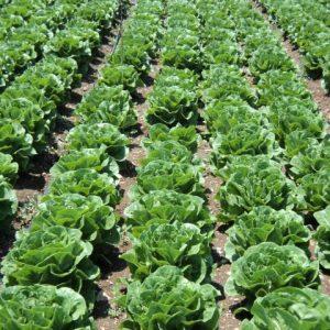 το μαρούλι είναι ένα λαχανικό πολύ εύκολο στη φύτευση και στην παραγωγή