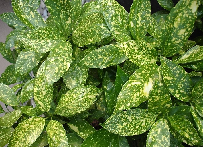 Η Αουκούμπα (Aucuba japonica) είναι θάμνος αειθαλής, που φτάνει μέχρι τα 3 μέτρα ύψος, με λαμπερά πράσινα φύλλα με κίτρινες κηλίδες και λαμπερούς κόκκινους καρπούς, που εμφανίζονται το φθινόπωρο