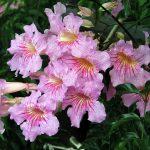 """Βιγνόνια Κοντέσα Σάρα (Bignonia (Tecoma) ricasoliana 'Contessa Sara"""") είναι θάμνος αειθαλής ή ημιαειθαλής, αναρριχώμενος. Ανθίζει από Ιούνιο έως αργά το φθινόπωρο. Έχει άνθη σωληνοειδή μεγάλα, με ρόδινη - ιώδη στεφάνη, που διατρέχεται από κόκκινες νευρώσεις, σε επάκριες, εντυπωσιακές ταξιανθίες. Φυτό ευαίσθητο στο ψύχος."""