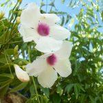 Βιγνόνια πολυανθής (Πανδορέα) (Bignonia semperflorens ) είναι θάμνος αειθαλής, αναρριχώμενος. Ανθίζει από άνοιξη μέχρι αργά το φθινόπωρο με άνθη χοανοειδή,