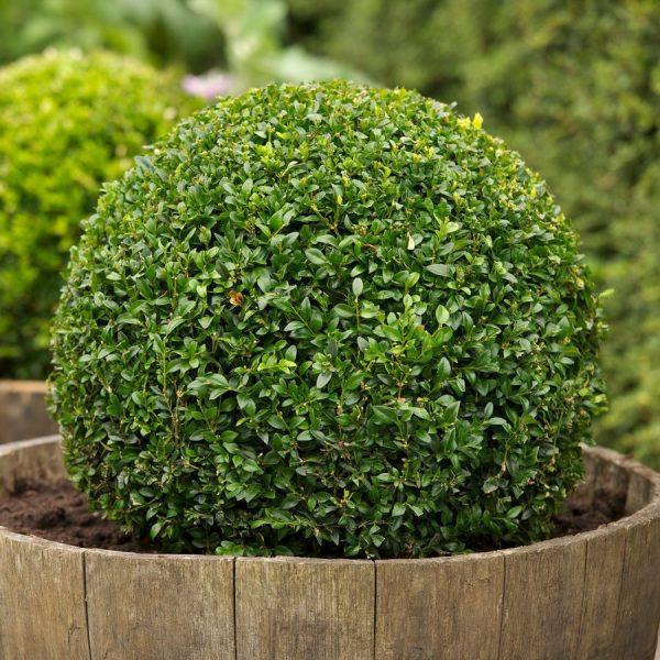 Το Πυξάρι είναι θάμνος αειθαλής, αργής ανάπτυξης, ύψους μέχρι 1,5 μέτρο, με φύλλα μικρά, βαθυπράσινα και γυαλιστερά
