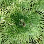 Ο Χαμαίροπας είναι φοινικοειδές θαμνώδους μορφής, αργής ανάπτυξης, που μπορεί να φτάσει μέχρι τα 3 μέτρα