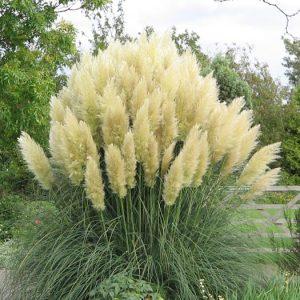 Το Γυνέριο (Gynerium argenteum) είναι ποώδες αειθαλές, πολυετές φυτό, ύψους 2-3 μέτρα.