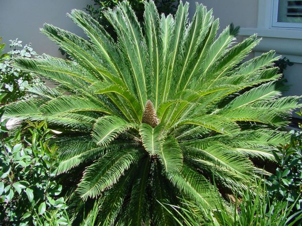 ΤΤο Τσίκας (Cycas revoluta) είναι φυτό αειθαλές, αργής ανάπτυξης, που φτάνει σε ύψος μέχρι 2,5 μέτρα. Φύλλα φτεροσχιδή, μήκους 1 έως 1,5 μέτρα