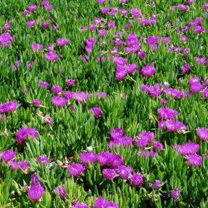 Το Μεσημβριάνθεμο (Carpodrotus edulis) είναι αειθαλές παχύφυτο με έρπουσα ανάπτυξη και πράσινα τριαδικά φύλλα. Ανθοφορεί άνοιξη και καλοκαίρι, με κίτρινα άνθη. Φυτό ιδανικό για εδαφοκάλυψη