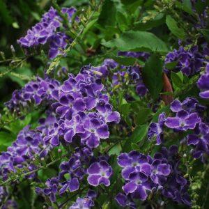 Η Δουράντα (Duranta plumeri) είναι ημιαειθαλής/αειθαλής θάμνος, γρήγορης ανάπτυξης, ύψους έως 3 μέτρα. ανθίζει το καλοκαίρι με μοβ - μπλέ άνθη