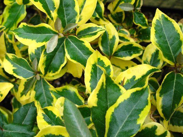 Ο Ελαίαγνος (Elaeagnus sp.) είναι θάμνος αγκαθωτός, αειθαλής, σχετικά γρήγορης ανάπτυξης