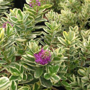 Η Βερονίκη (Hebe Veronica / speciosa) είναι θάμνος αειθαλής, που φτάνει σε ύψος 0,5 έως 1,5 μέτρο. Τα φύλλα της μπορεί να είναι πράσινα ελλειψοειδούς σχήματος. Ανθίζει όλο τον χρόνο με άνθη μενεξεδένια. Κατάλληλη για μπορντούρες, για χρωματικές κηλίδες στο γκαζόν, σε βραχόκηπους.