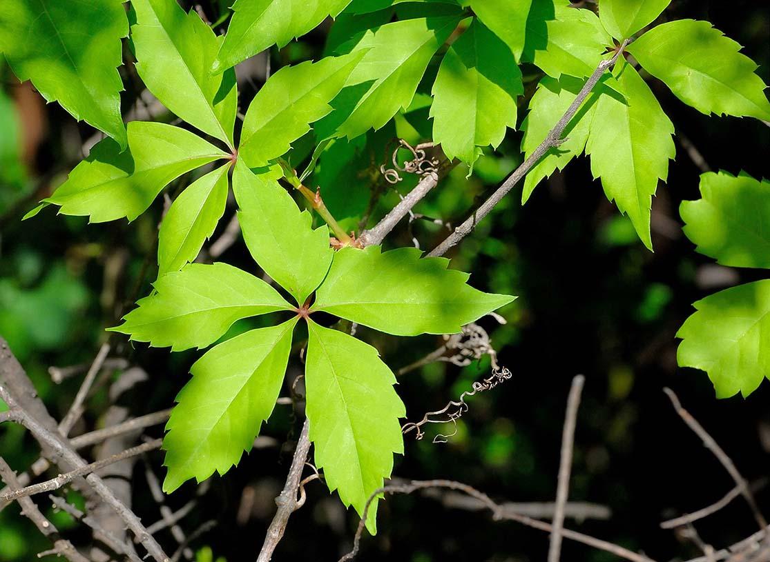 Ο Παρθενόκισσος πεντάφυλλος - Αμπέλοψη (Parthenocissus quinquefolia) είναι θάμνος αναρριχώμενος, φυλλοβόλος, γρήγορης ανάπτυξης, που φτάνει μεχρι τα 20 μέτρα.