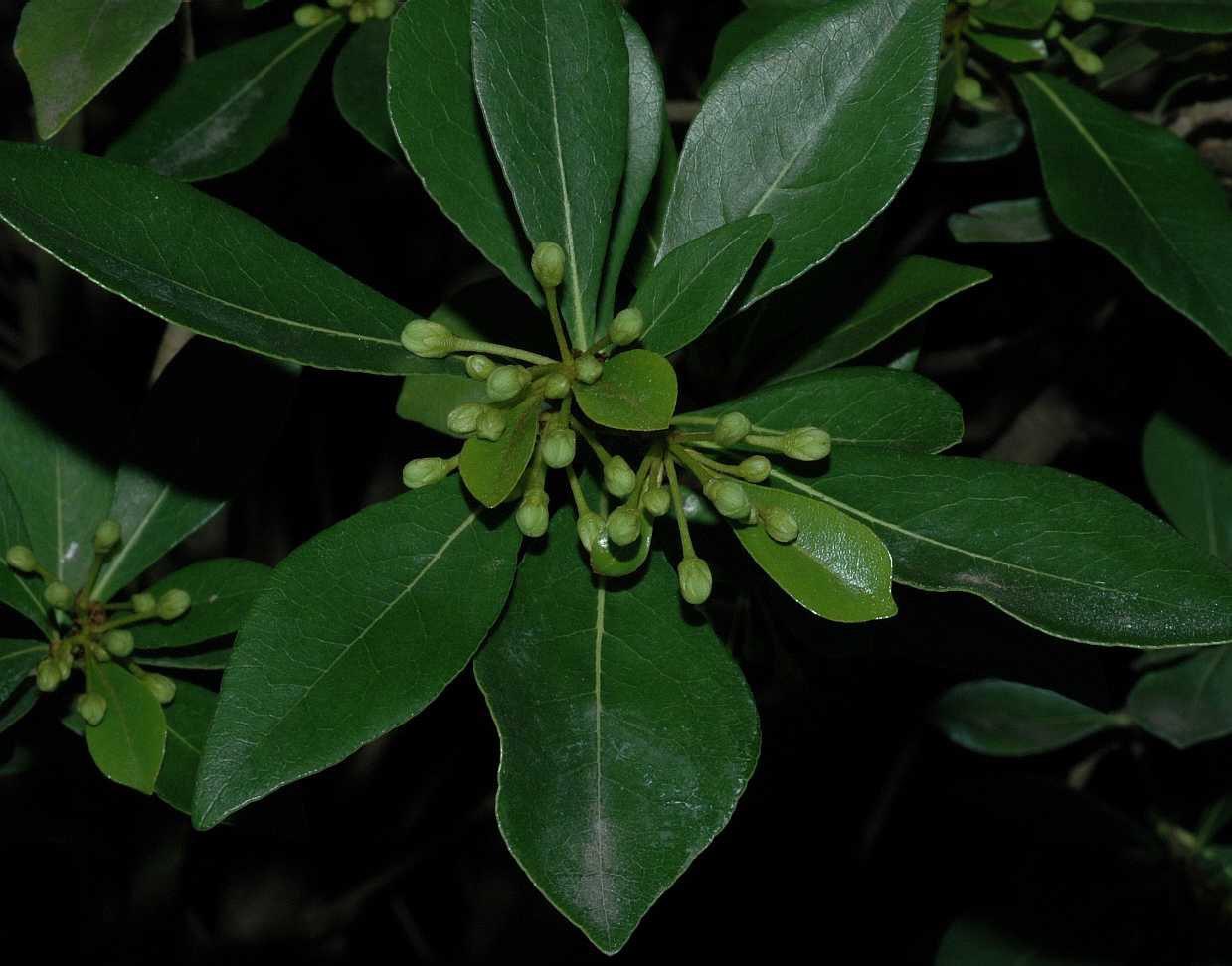 Η Αγγελική μικρόφυλλη (Pittosporium heterophyllum) είναι θάμνος αειθαλής, που φτάνει μέχρι τα 4 μέτρα, με πυκνή βλάστηση και μικρά φύλλα, δερματώδη.