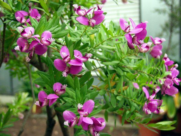 Το Πολύγαλα είναι θάμνος αειθαλής μέτριας ανάπτυξης, με μικρά γκριζοπράσινα φύλλα