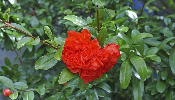 Η Ροδιά νάνα είναι θάμνος φυλλοβόλος, γρήγορης ανάπτυξης που φτάνει σε ύψος τo 1 μέτρο. Ανθίζει από το Μάιο έως τον Αύγουστο με άνθη μικρά, πολλά κόκκινο-πορτοκαλί. Κάνει καρπούς κόκκινους, μικρούς, με εξαιρετική καλλωπιστική αξία. Είναι φυτό ευαίσθητο στο ψύχος, προτιμά ηλιόλουστες θέσεις φύτευσης, εδάφη δροσερά, τακτικά αρδευόμενα.