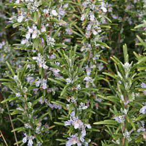 Το Δενδρολίβανο ανήκει στην οικογένεια Labiatae στο είδος Rosmarinuw officinalis. Είναι φυτό με χαρακτηριστικό έντονο άρωμα, που οφείλεται στα αιθέρια έλαια