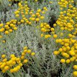 Η Λεβαντίνη (Santolina chamaecyparissus) είναι φυτό φρυγανώδες, αειθαλές, αρωματικό
