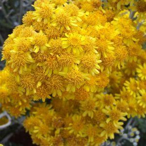 Η Σινεράρια (Cineraria maritina) είναι θάμνος αειθαλής, ύψους μέχρι 0,5 μέτρα. Άνθη μικρά, κίτρινα, εμφανιζόμενα το καλοκαίρι. Είναι φυτό κατάλληλο για μπορντούρες και για παραθαλάσσιες φυτεύσεις. Ανθεκτικό στην ημισκιά.