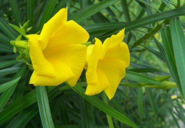 Η Θεβέτια ή Θιβέτια ή Θιβετιανή (Thevetia peruviana) είναι θάμνος αειθαλής, με φύλλα στενόμακρα βαθυπράσινα