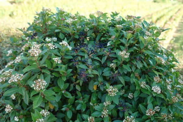 Το Βιβούρνο το φωτεινό (Viburnum tinus Lucidum) είναι θάμνος αειθαλής, πολύ ανθεκτικός, που φτάνει μέχρι τα 3 μέρα σε ύψος. Έχει φύλλα μεγάλα γυαλιστερά, που του δίνουν ιδιαίτερη καλλωπιστική αξία. Κατάλληλο για μπορντούρες.