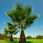 Η Ουασιγκτόνια φυτό κατάλληλο για παραθαλάσσιες περιοχές, ευαίσθητο σε ασβεστούχα εδάφη και σε λιμνάζοντα νερά. εξαιρετικής καλλωπιστικής αξίας.