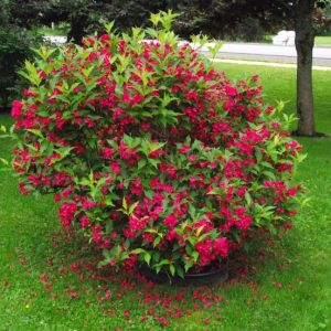 Η Βεϊγκέλια (Weigelia Bristol Ruby) είναι θάμνος φυλλοβόλος, ζωηρής ανάπτυξης, που φτάνει ύψος τα 2 με 3 μέτρα. Τα φύλλα είναι καταπράσινα, οβάλ σχήματος και τα άνθη ζωηρά κόκκινα με σωληνοειδή στεφάνη