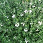 Η Βεστρίτσια (Westringia fruticosa) είναι θάμνος αειθαλής, σφαιρικού σχήματος με μικρά στενόμακρα φύλλα χρώματος βαθυπράσινου στην επάνω επιφάνεια και ασημογκρί στην κατω. Ανθίζει από άνοιξη έως φθινόπωρο με λευκά ή μωβ άνθη. Φτάνει σε ύψος 1 με 1,5 μέτρα.