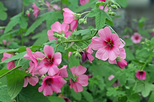 Η Ανισοντοτέα (Anisodontea capensis) είναι αειθαλής θάμνος μέτριας ανάπτυξης. Ανθίζει από άνοιξη μέχρι φθινόπωρο με άνθη με 5 πέταλα, χρώματος ροζ