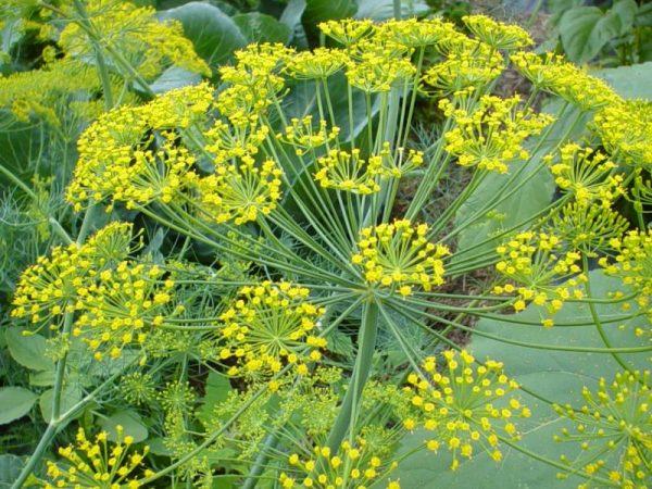 Ο Άνηθος ανήκει στην οικογένεια Umbelliferae, στο είδος Anethum graveolens. Περιέχει αιθέρια έλαια (όπως καρβονίνη, φελανδρίνη, λιμονίνη, μυριστικίνη)
