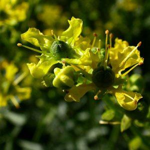 Ο Απήγανος ανήκει στην οικογένεια Rutaceae, στο είδος Anethum graveolens. Είναι φυτό με αναμφισβήτητες, διεγερτικές, διουρητικές, πεπτικές