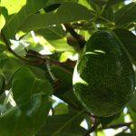 Το Αβοκάντο, Persea americana, είναι δένδρο που ευδοκιμεί σε τροπικές και υποτροπικές περιοχές (στη ζώνη ανάπτυξης των εσπεριδοειδών).